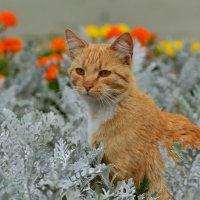 О рыжем коте :: Olcen Len