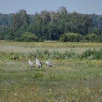 Гуляют в поле журавли :: Светлана Рябова-Шатунова