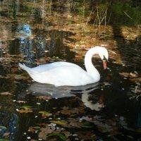 Средь темных вод лебедь белая плывет!... :: Лидия Бараблина