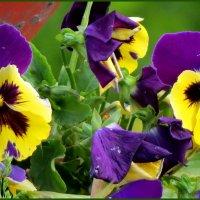 Летние красуются цветы... :: Светлана