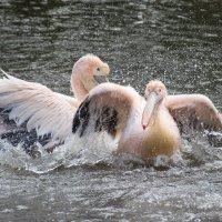 Купание розового пеликана :: Nata_li В.