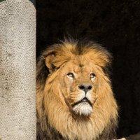 Царь зверей :: Nata_li В.