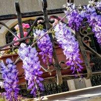 Мартовские цветение глицинии. :: Жанна Викторовна