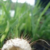 Бешеный огурец, плод :: Виктория (Чечевика) Шаповал