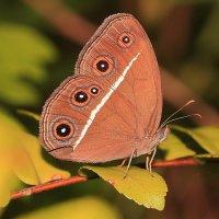 Тропическая бабочка :: Александр Гризодуб