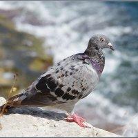 Мальтийский голубь.. :: Николай Панов