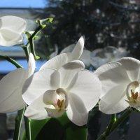 Орхидея :: Mariya laimite