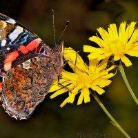 бабочка :: Laryan1