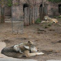 волки отдыхают :: Димончик