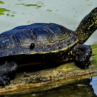 черепаха :: vodonos241