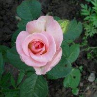 Розовая роза :: Марина Таврова