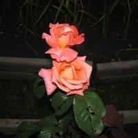 Розы в ночи :: Марина Таврова
