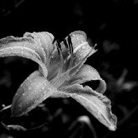 Flor :: alexander zvir