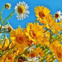 Ромашки жёлтые и белые :: Валентина Пирогова