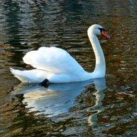 Плывет белый лебедь по зеркальной воде.. :: Лидия Бараблина