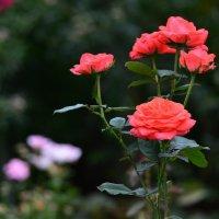 Розы :: Елена Буслаева