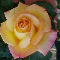 Желтая роза :: Марина Чайкина