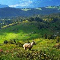 козленок в альпийском пейзаже :: Elena Wymann
