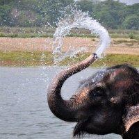 индийский слон :: Olga Veisman
