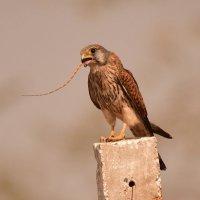 Common Kestrel with a Lizard Kill :: ian 35AWARDS