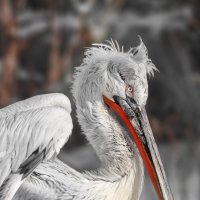 Пеликан кудрявый :: олег