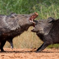 Javelinas fight :: ian 35AWARDS