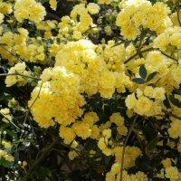 Любителям желтых роз посвещается. :: Жанна Викторовна