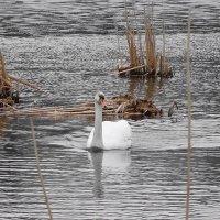 На освобождающие от льда озера, возвращаются лебеди :: Маргарита Батырева