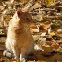 Рыжий кот на рыжих листьях :: Ирина Via