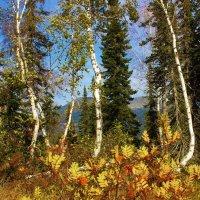 Берёзово-пихтовый лес Алатау :: Сергей Чиняев