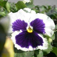 Viola tricolor 3 :: Андрей Lactarius
