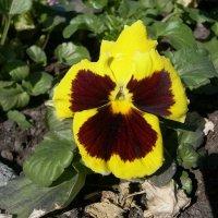 Viola tricolor 1 :: Андрей Lactarius