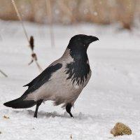 Серая ворона :: Сергей