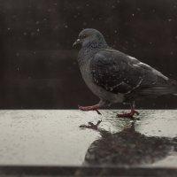 Кеша птица важная, но Герасим тот ещё франт ! :: Алексей Медведев