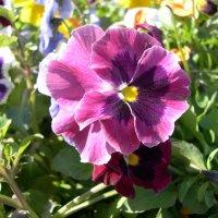 Viola tricolor 8 :: Андрей Lactarius
