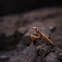 Обыкновенный богомол / Mantis religiosa :: Viktor Rybak