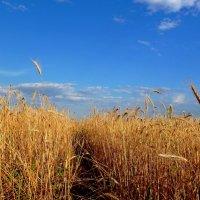 Тропинка в поле пшеничном... :: Лидия Бараблина