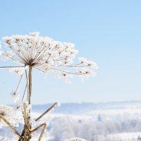 Борщевик. Опасен летом, прекрасен зимой :: Светлана Соколова