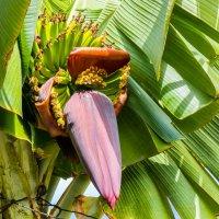 Так цветет банановая пальма :: Андрей Данилов