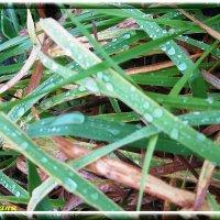 Капли на траве :: swetalana Timofeeva