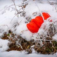 красное на белом :: Андрей Козлов