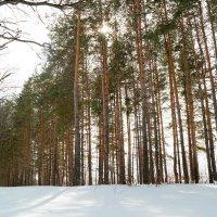 И светел лес в апрельском солнце.. :: Андрей Заломленков