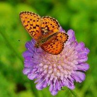 Бабочка на полевом цветке :: Валентина Пирогова