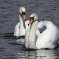 Засмущалась лебедь, глазки опустив :: SELENA4950