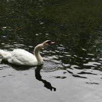 белый лебедь на пруду :: Димончик