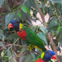 Попугаи австралийские :: Александр Деревяшкин