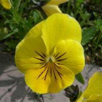 Viola tricolor 16 :: Андрей Lactarius