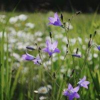 Колокольчики в поле :: Анна (Анка) Салтыкова
