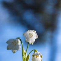Весна красна - небо голубое, цветы белые! :: Александр Земляной