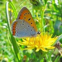 ГолубянкаЧервонец непарный :: vodonos241